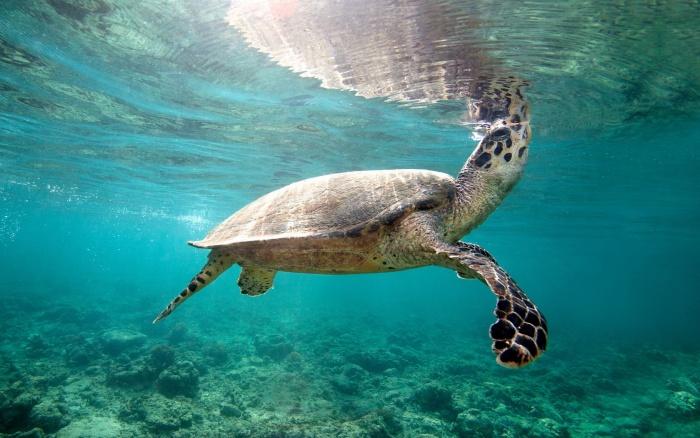 Черепаха Бисса под водой